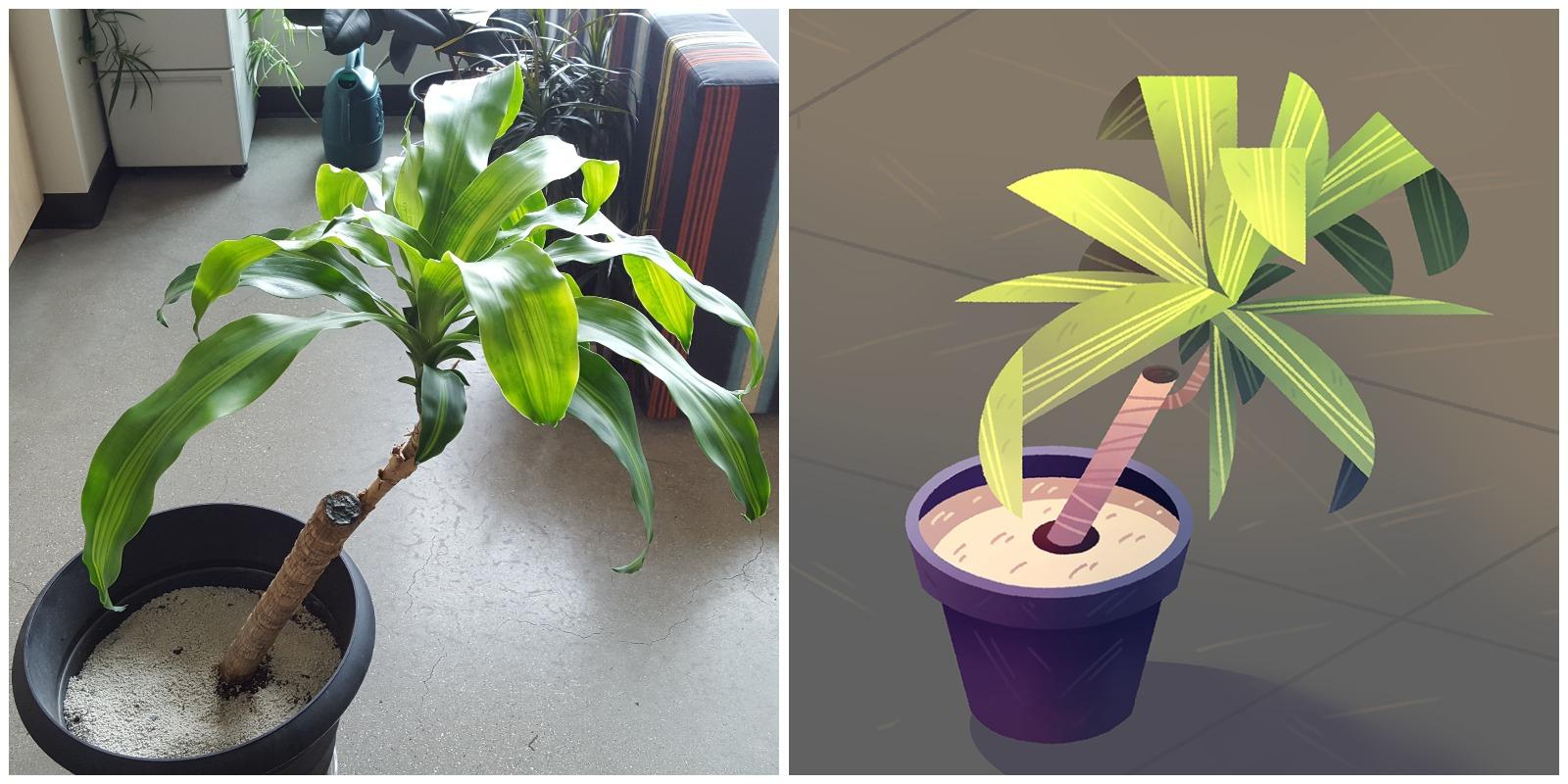 Corn Plant - Dracena fragrans